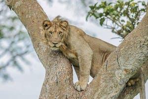 Kyambura Gorge Lodge Qenp Wild Lion