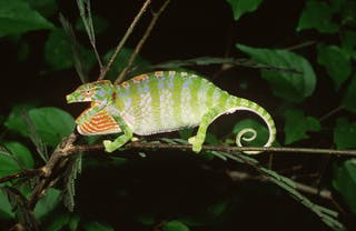 Labords Chameleon Female Kirindy