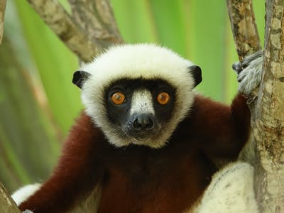 Lemur Stare