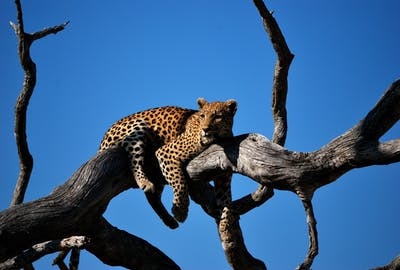 Leopard In The Moremi Game Reserve