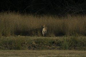 Leopard  Trails  Wilpattu  Leopard  Spotting