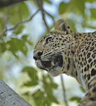 Leopard In A Tree At Ranthambore
