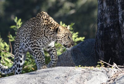 Leopard On Rocks