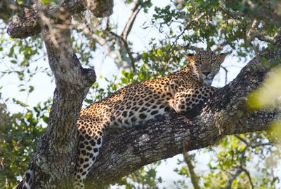 Leopard Relaxing On A Tree At  Yala