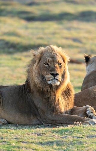 Linyanti Lionesses
