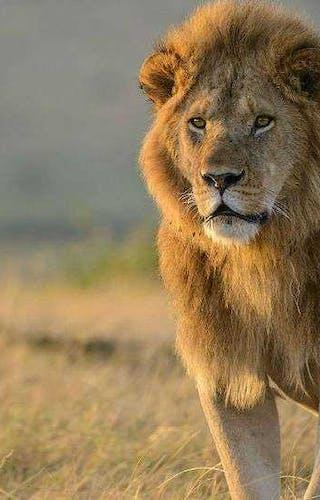 Lion Enkewa Camp