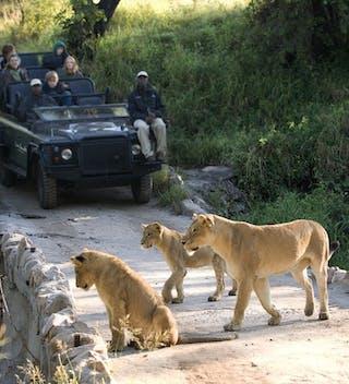 Lion Sands River Lodge Lion Safari