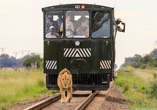 Lion Crossing The Track In Hwange