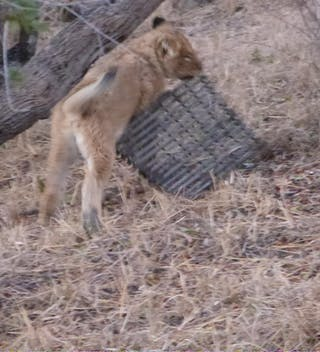 Lion In Camp Umlani