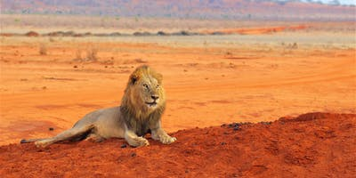 Lion In Tsavo