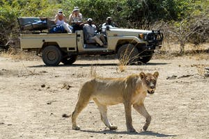 Lion In The South Luangwa