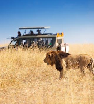 Lion Safari Copy