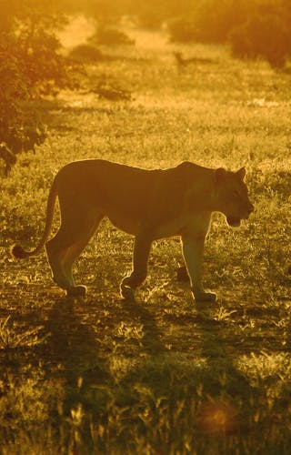 Lioness In Linyanti Concession
