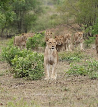 Lions At Savanna Private Game Reserve