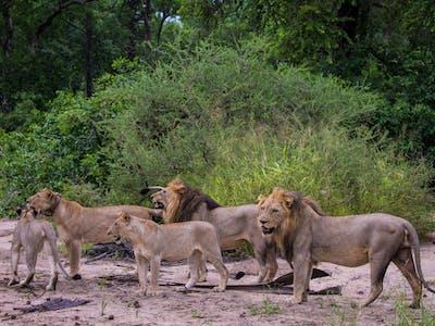 Lions Cr Marcus Westberg 11 1200 X 800