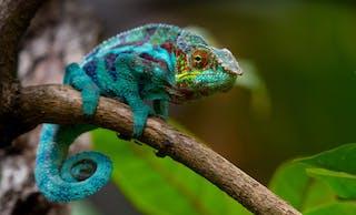 Madagascar Chameloens