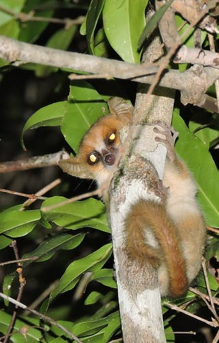 Madame Berthes Mouse Lemur Fc Casuario Kirindy