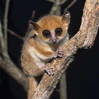 Madame Berthes Mouse Lemur Fanamby