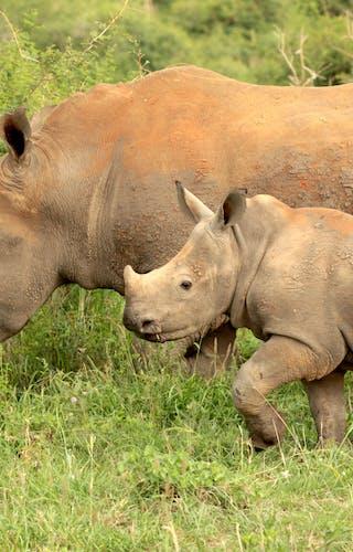 Madikwe Rhino And Calf