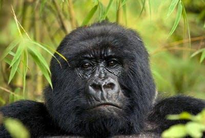 Mahogany  Springs Gorilla
