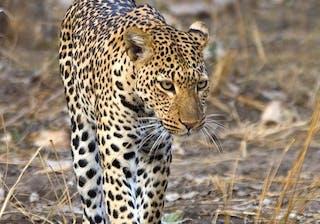 Majete Leopard