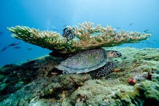 Maldives Turtle