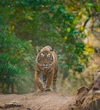 Male Tiger At Ranthambore