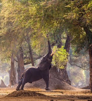 Mana Pools Elephant