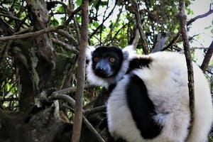 Mantadia  Black And  White Ruffed  Lemur  Toky  Andriamora
