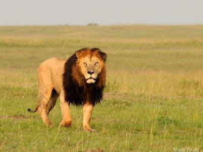 Mara Ngenche Black Mane Lion