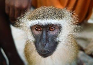 Monkey At Coral Lodge Near Ilha De Mozambique