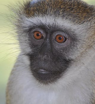 Monkey In Malawi