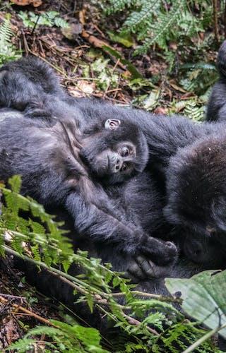 Mountain Gorillas In Bwindi Uganda