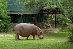 Mvuu Lodge Hippo At Camp
