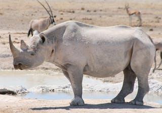 Namibia Etosha Black Rhino - Margo