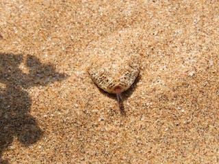 Namibia Swakopmund Sidewinder Adder