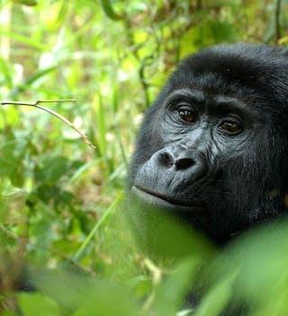 Nkuringo Bwindi Gorilla Lodge Gorillas
