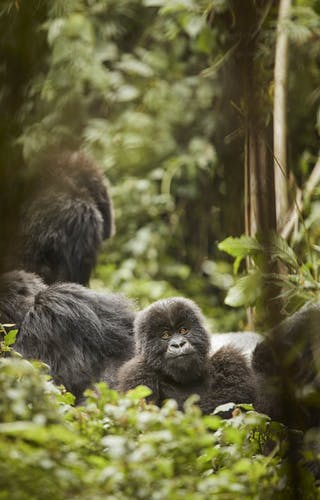 Oo Gorillas Nest Flora Fauna Gorilla Trek 23104 Master
