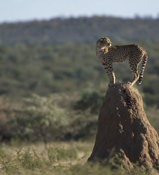 Okonjima Cheetah On Termite Heap - Margo
