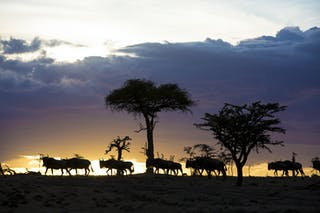 Olakira Migration Camp Wildebeest Sunset