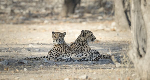 Ongava Cheetah