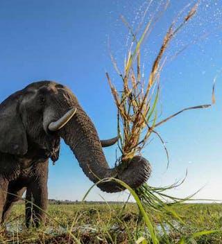 Pangolin Chobe Hotel Elephant On Safari