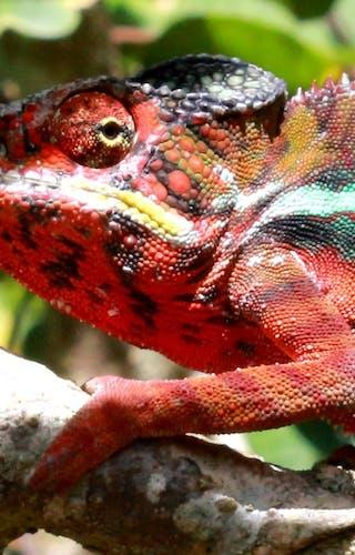 Peyrieras Panther Chameleon