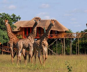 Pezulu Tree House Lodge Giraffe