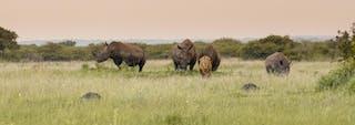 Phinda Rhino And Lion