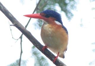 Principe Kingfisher Front Lavinia Burnham