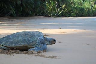 Protetuga Green Turtle Beach Laying