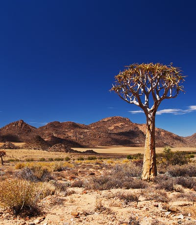 Quiver Tree In The Northern Cape