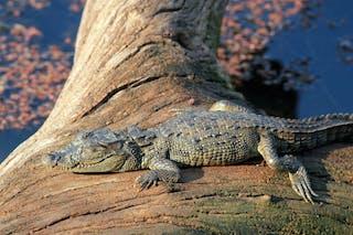 Ranthambore Crocodile
