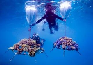 Reefscraper Coral Frames